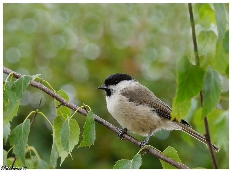 Les oiseaux chantent Nonnet10