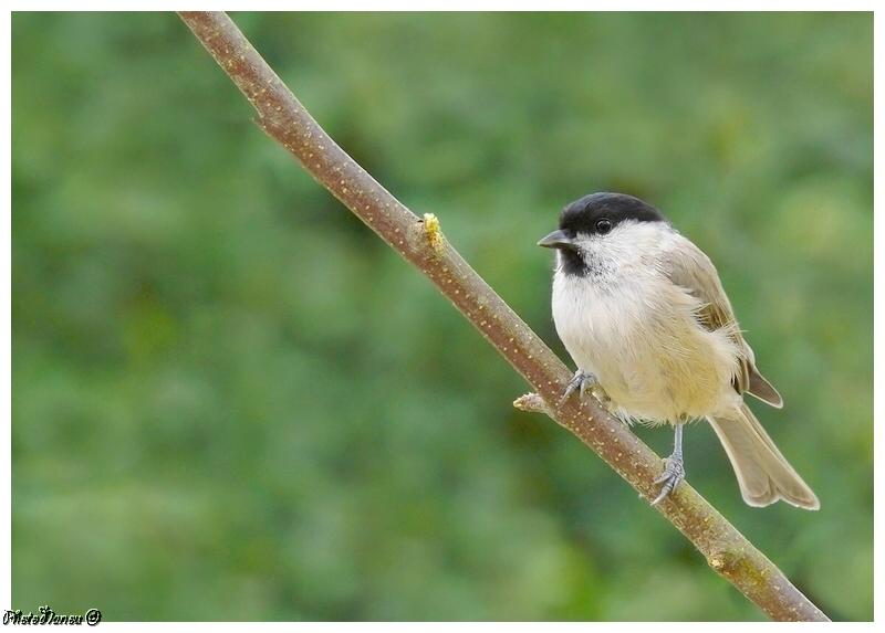 Les oiseaux chantent Nonnet11