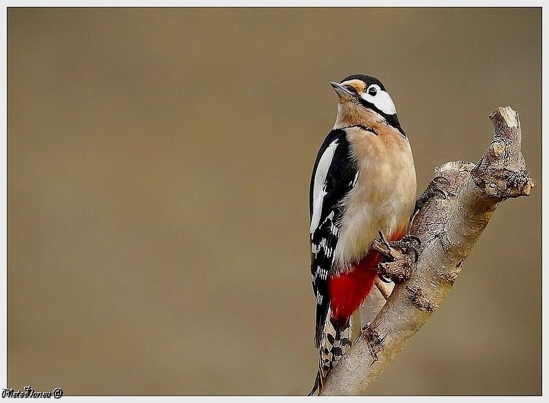 Les oiseaux chantent Pic-yp10