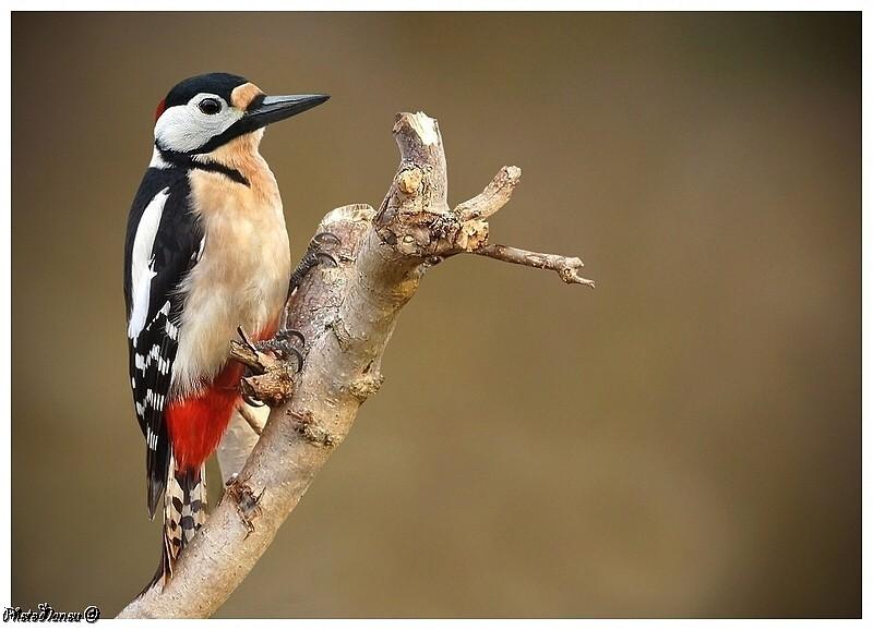 Les oiseaux chantent Pic_yp10