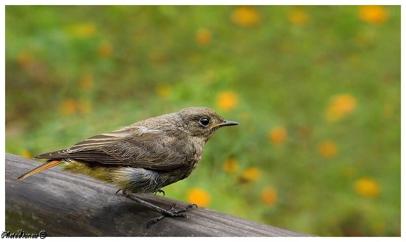 Les oiseaux chantent Rougeq10