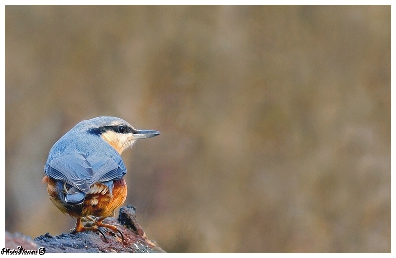 Les oiseaux chantent Sittel10