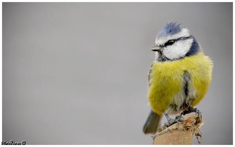Les oiseaux chantent Vignet11