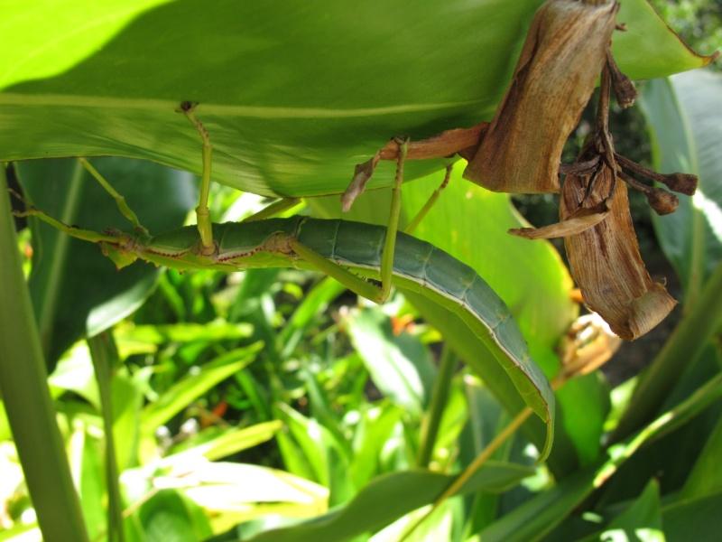 Diapherodes martinicensis (PSG ?) Img_5714
