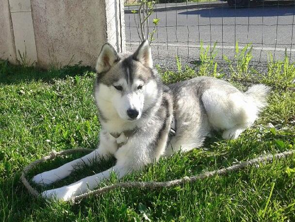 Kellya, 3ans 1/2, magnifique husky urgent PART24 20150410