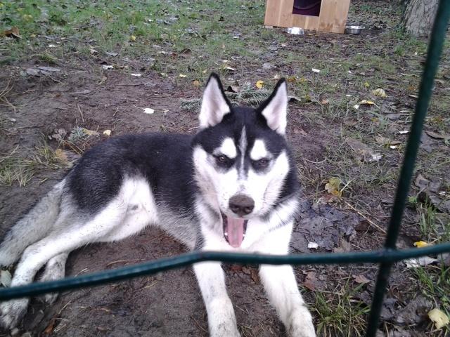 Balto husky ( 6 mois ) cherche un maitre PART33 Balto_10