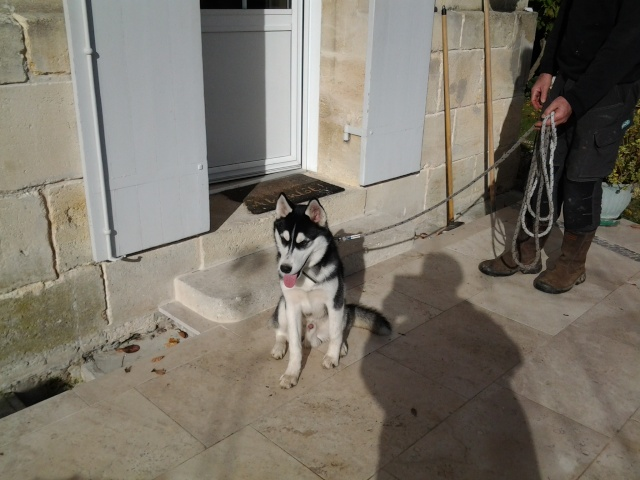 Balto husky ( 6 mois ) cherche un maitre PART33 Balto_12