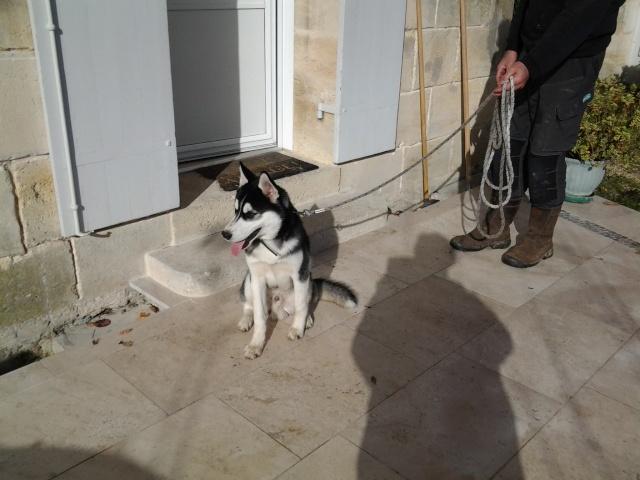Balto husky ( 6 mois ) cherche un maitre PART33 Balto_13