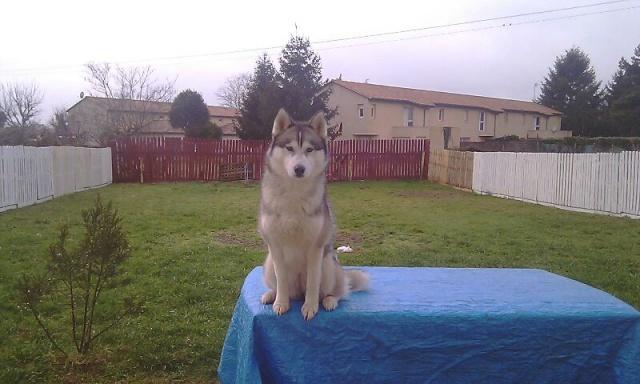 Kellya, 3ans 1/2, magnifique husky urgent PART24 Imag0010