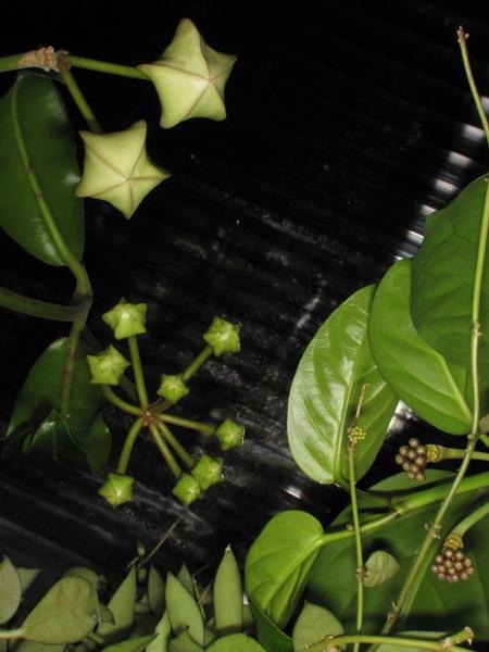 Hoya imperialis - Pagina 3 Img_0416