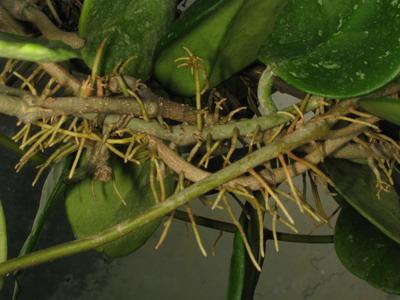 2 Hoya waymaniae - inflorire (aproape) simultana Img_3214