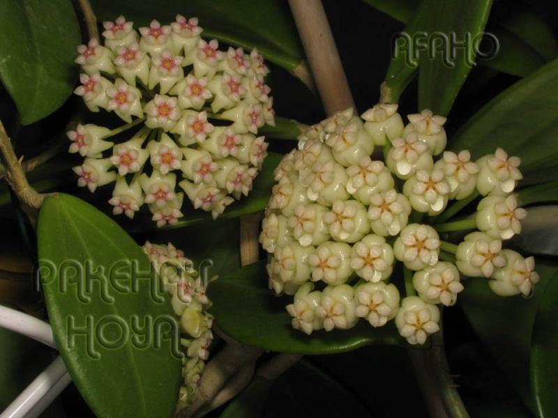 Hoya pachyclada Img_3412