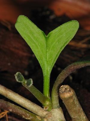 Hoya crucimaltensis :-) (Hoya manipurensis) Img_3812
