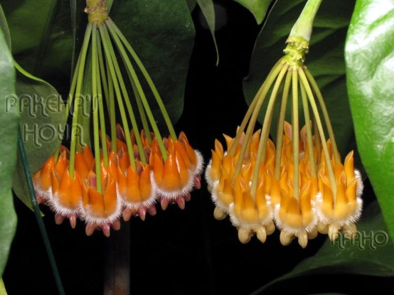 Hoya lasiantha & praetorii Img_4117
