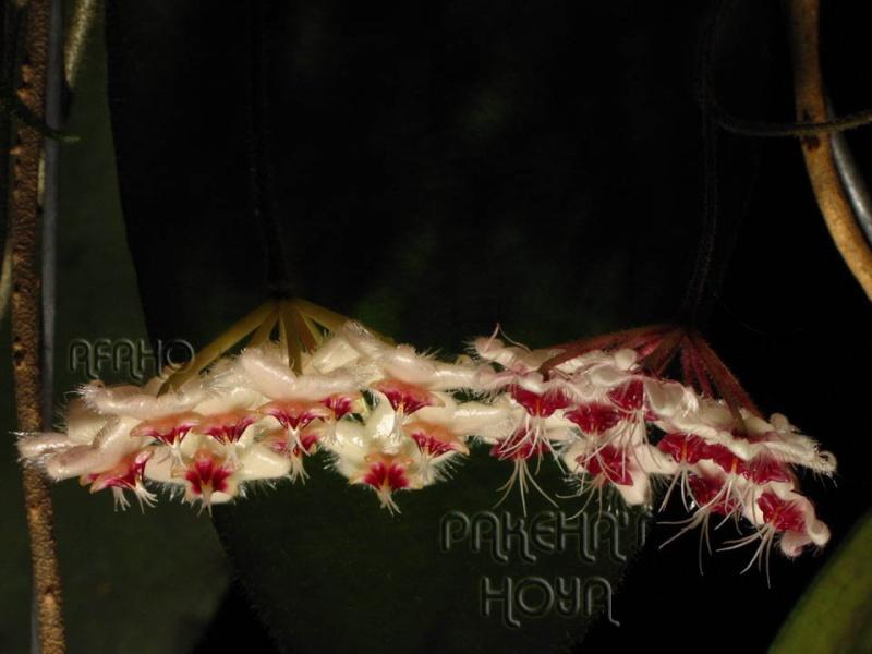 Hoya flagellata TN99-024 Img_4415