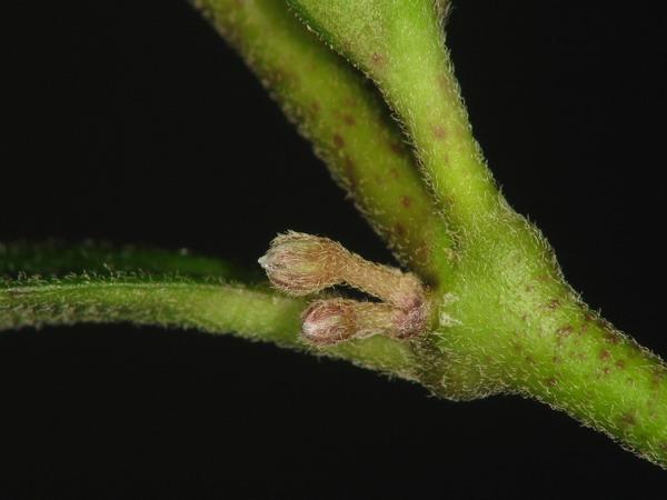Hoya crucimaltensis :-) (Hoya manipurensis) Img_4511