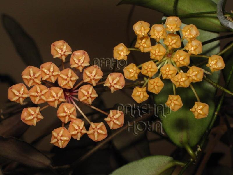 Hoya sigillatis Img_4912