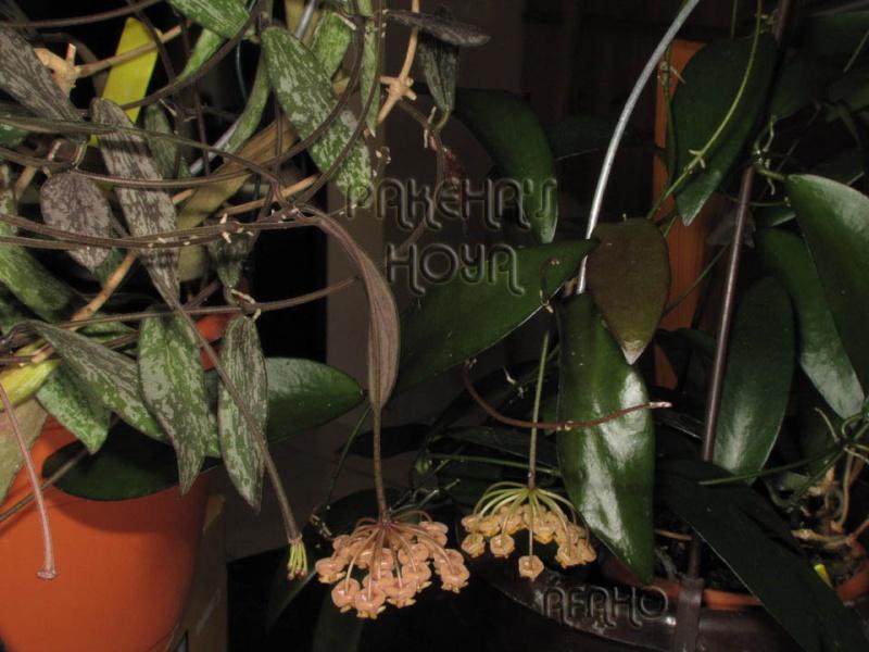 Hoya sigillatis Img_5016