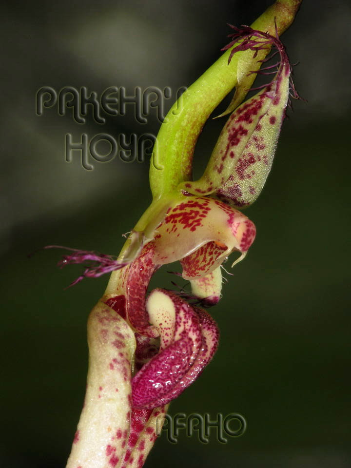 Borneo - 2009 & 2010 - orhidee salbatice Img_5512