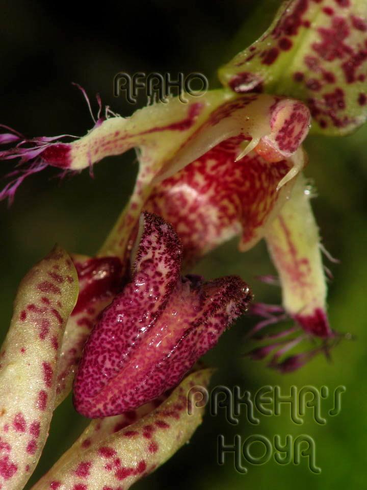Borneo - 2009 & 2010 - orhidee salbatice Img_5513