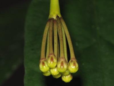 Hoya lasiantha & praetorii Img_5911