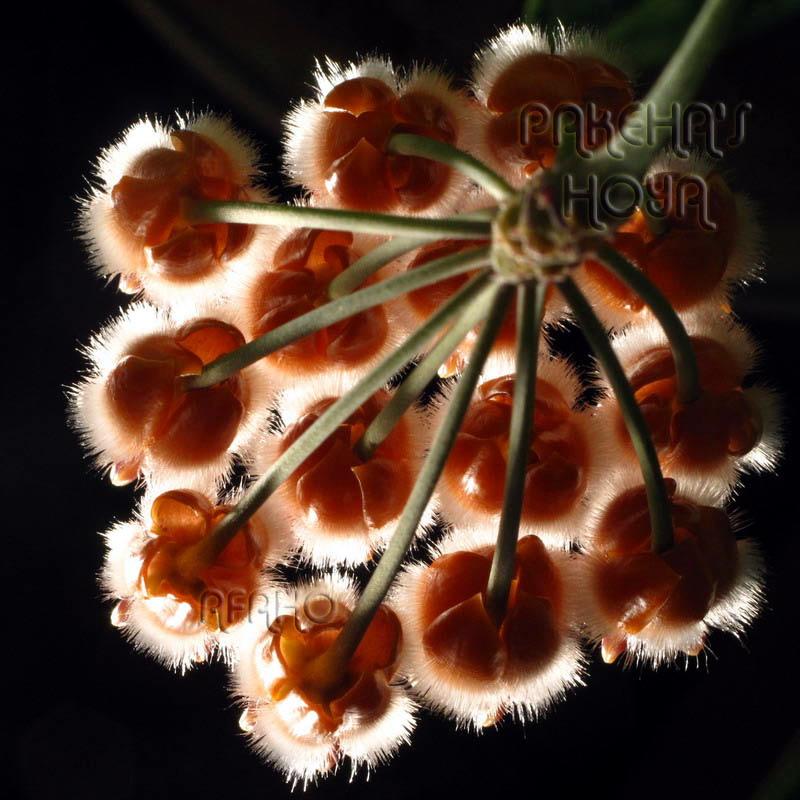 Hoya lasiantha & praetorii Img_5912