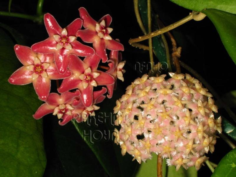 Hoya mindorensis & erythrostemma Img_5914