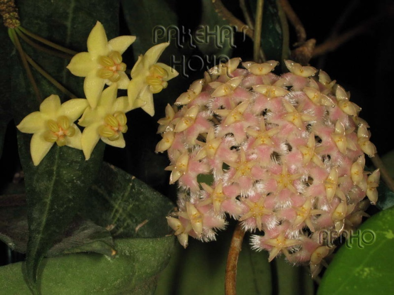 Hoya mindorensis & erythrostemma Img_5915