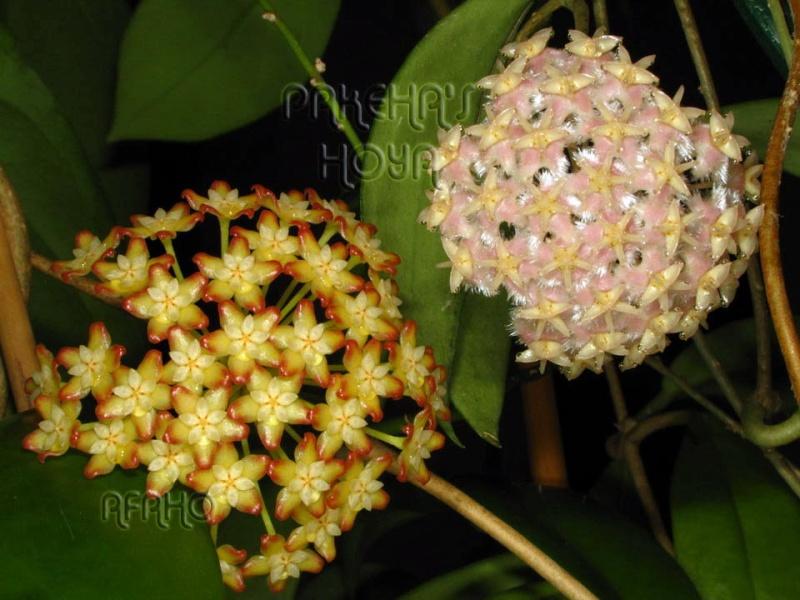 Hoya mindorensis & erythrostemma Img_6112