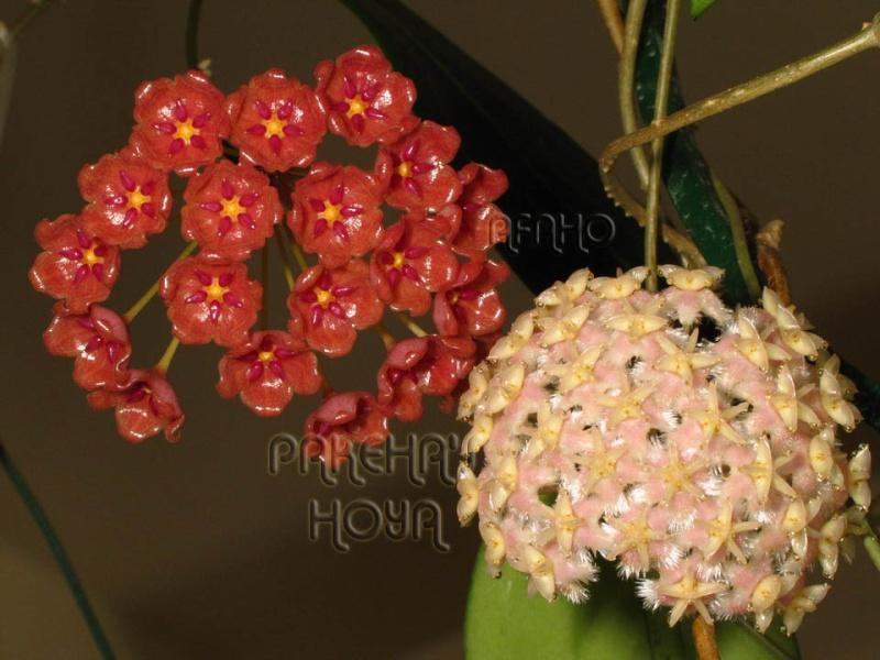 Hoya mindorensis & erythrostemma Img_6113