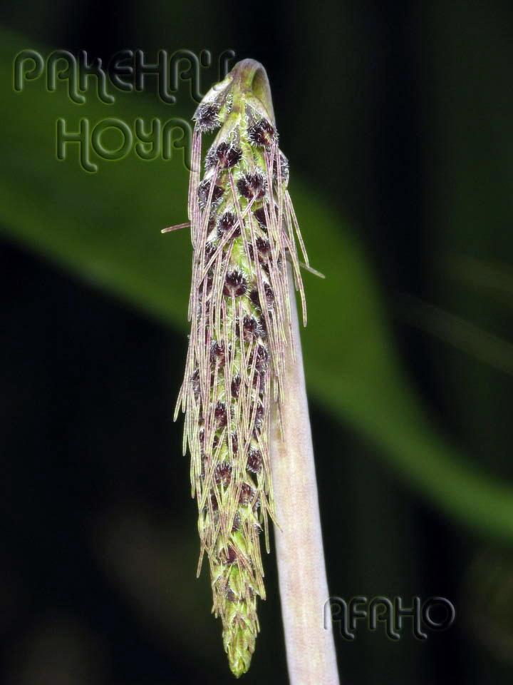Borneo - 2009 & 2010 - orhidee salbatice Img_6510