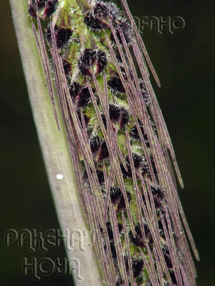 Borneo - 2009 & 2010 - orhidee salbatice Img_6511