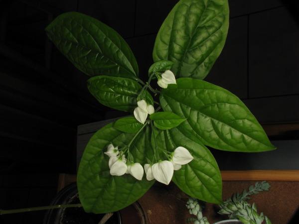 Test de cunostiinte botanice (clerodendron) Img_6610