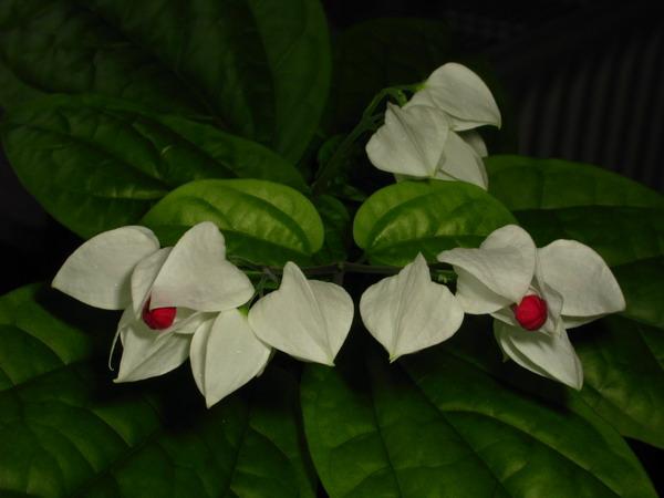 Test de cunostiinte botanice (clerodendron) Img_6911