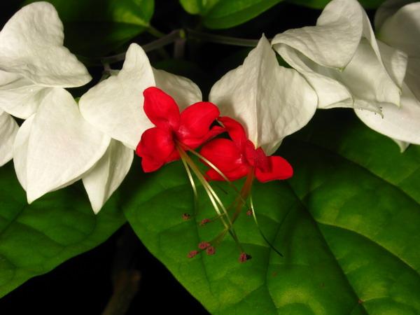 Test de cunostiinte botanice (clerodendron) Img_7211
