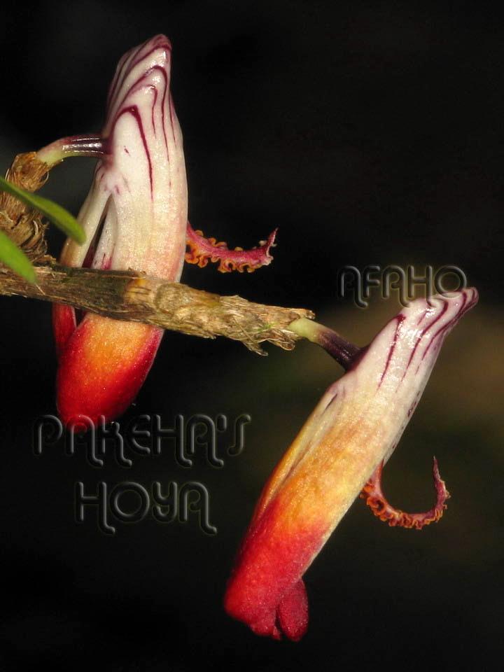 Borneo - 2009 & 2010 - orhidee salbatice Img_7511