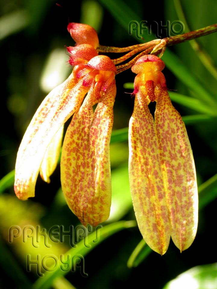 Borneo - 2009 & 2010 - orhidee salbatice Img_7615