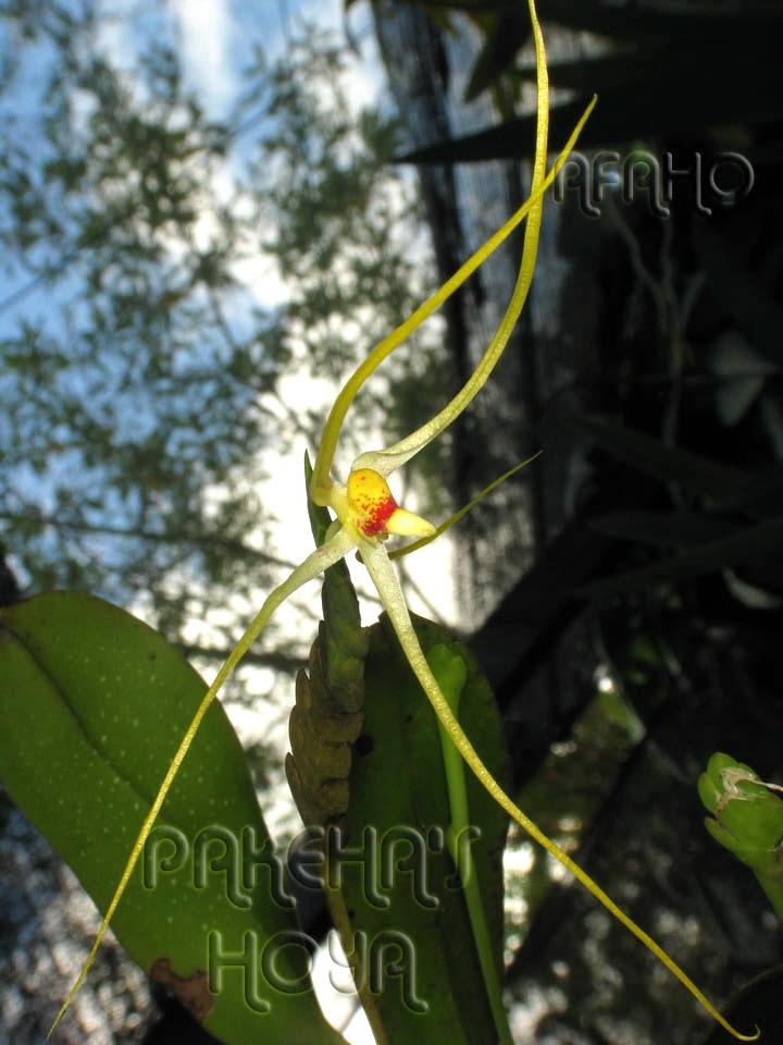 Borneo - 2009 & 2010 - orhidee salbatice Img_7616