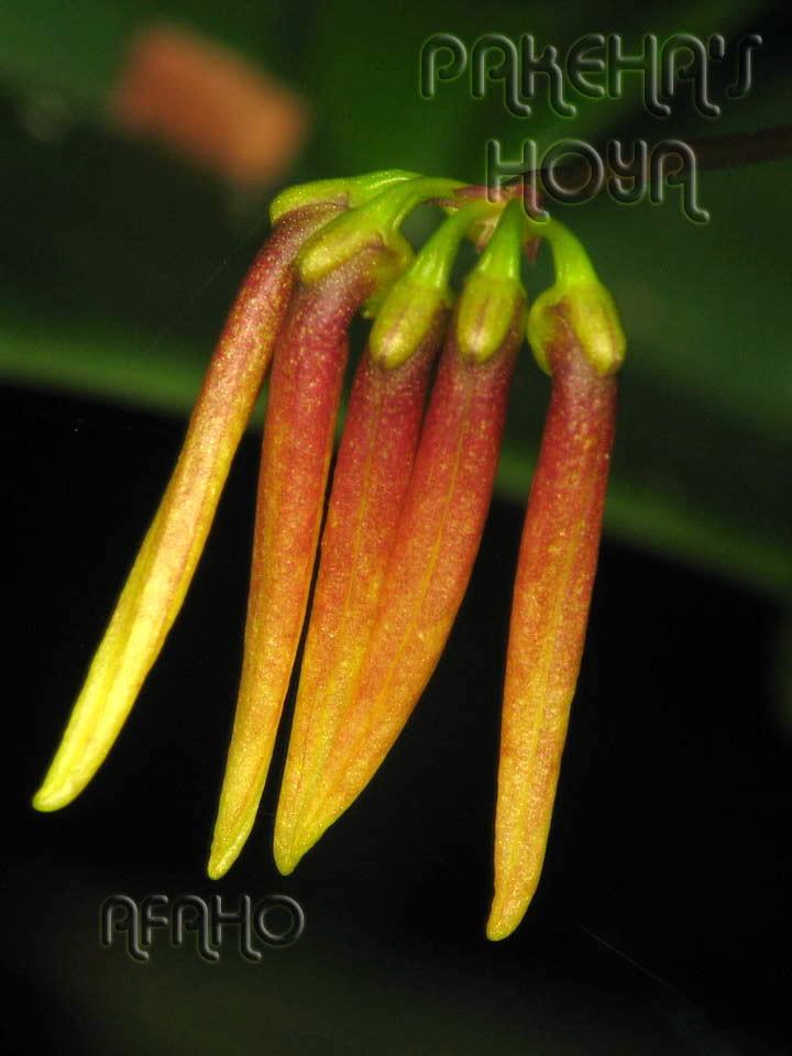 Borneo - 2009 & 2010 - orhidee salbatice Img_7621