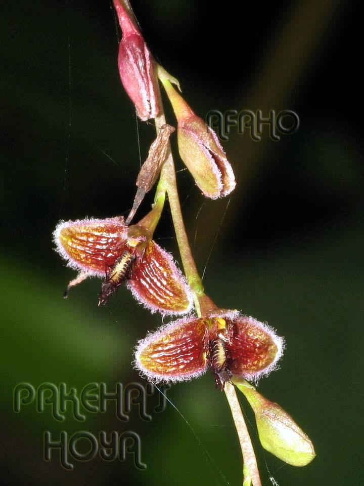 Borneo - 2009 & 2010 - orhidee salbatice Img_7622