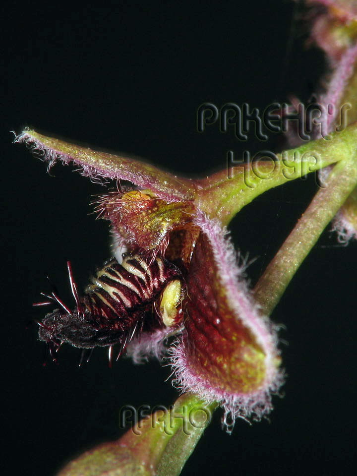 Borneo - 2009 & 2010 - orhidee salbatice Img_7624