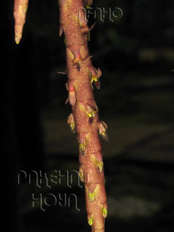 Borneo - 2009 & 2010 - orhidee salbatice Img_7811