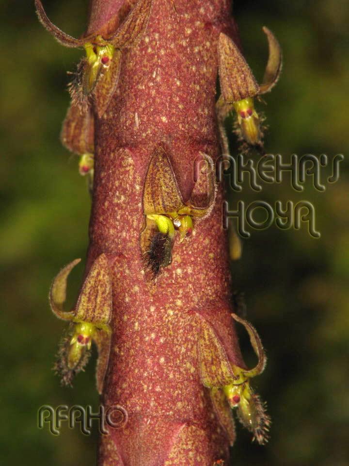 Borneo - 2009 & 2010 - orhidee salbatice Img_7812