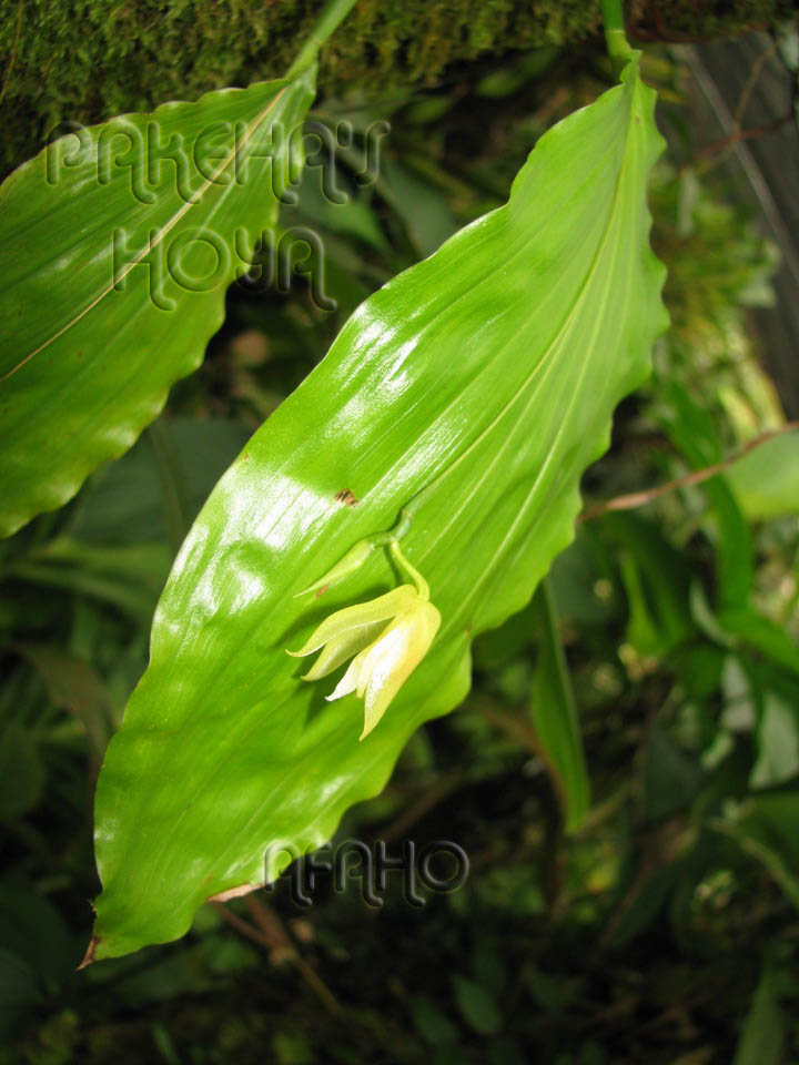 Borneo - 2009 & 2010 - orhidee salbatice Img_7914