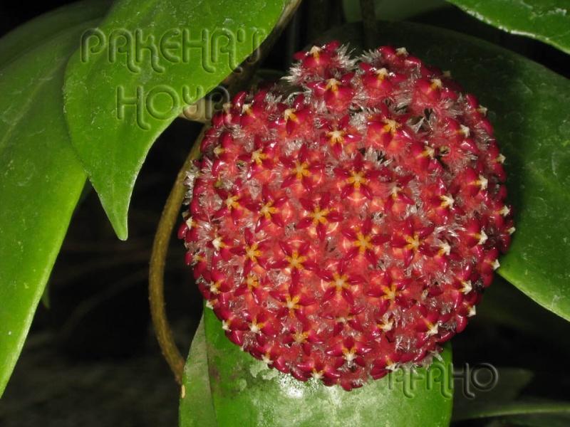 Hoya mindorensis & erythrostemma Img_8115