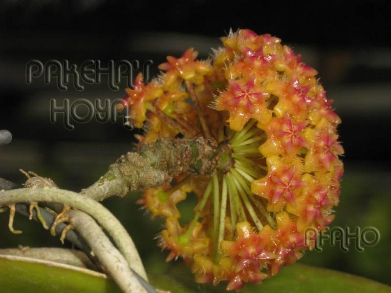 Hoya mindorensis & erythrostemma Img_8214
