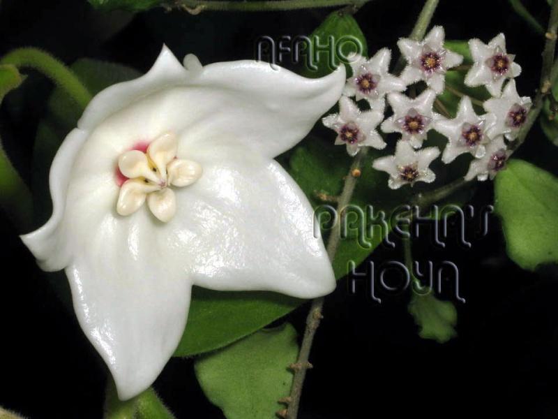 Hoya magnifica Img_8916