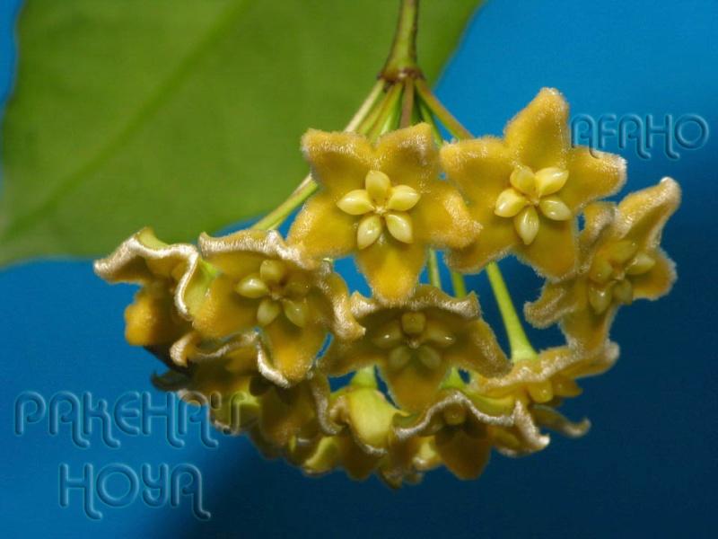Hoya ischnopus & dischorensis & kenejiana Img_9512