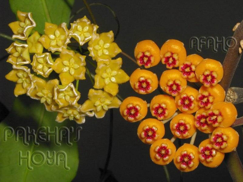 Hoya ischnopus & dischorensis & kenejiana Img_9513