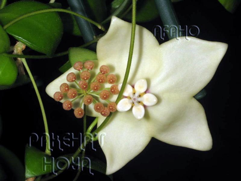 Hoya magnifica Img_9516
